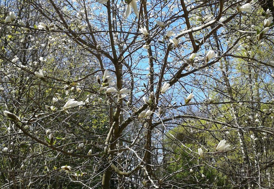magnolia vihreä puun oksa sininen taivas