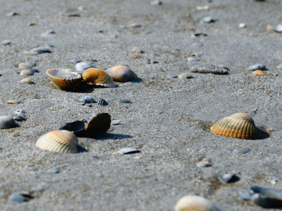 ruskea hiekka ranta simpukoita