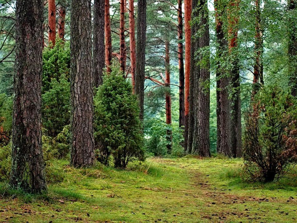 vihreä metsä polku mänty