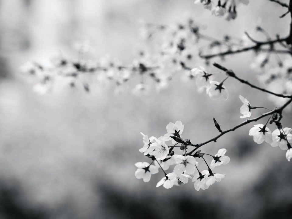 mustavalkokuva kirsikkapuun oksista