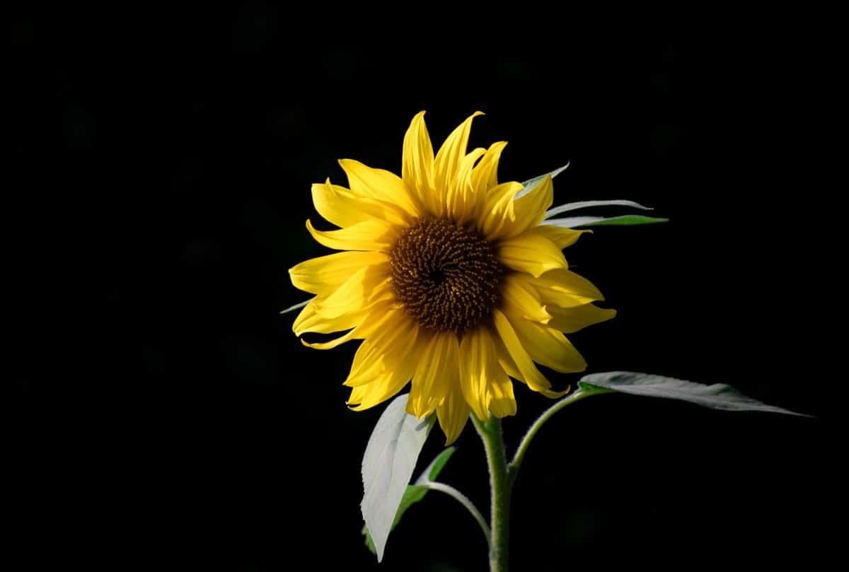 auringonkukka mustaa taustaa vasten
