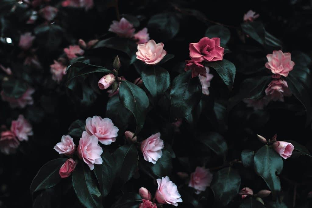 vaaleanpunaisia kukkia ja tummanvihreitä lehtiä